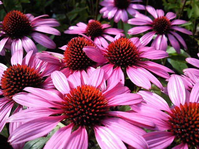 Цветки эхинацеи