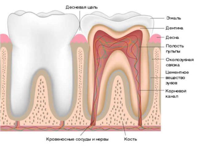 зуб в разрезе